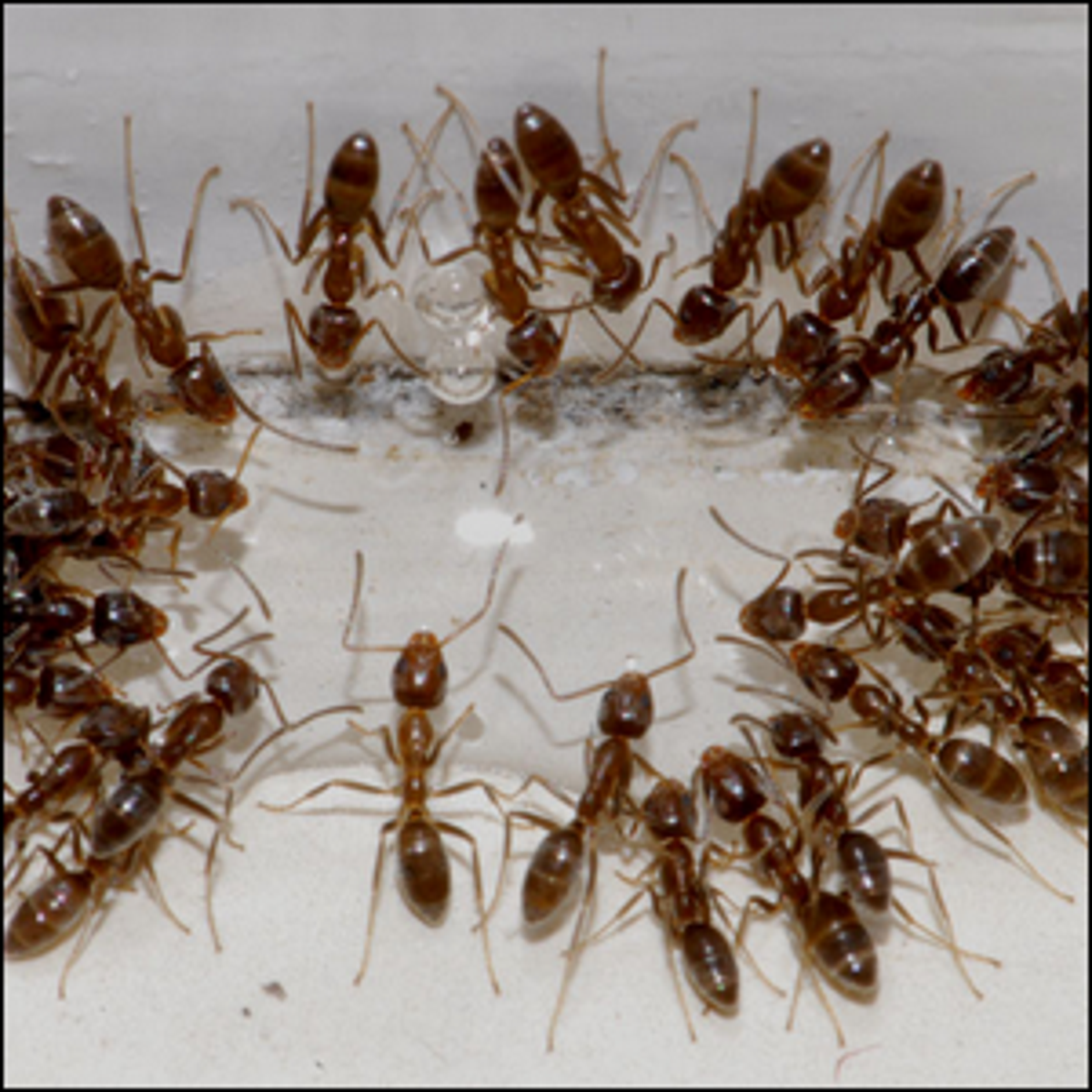 A group of Argentine Ants consuming sugar water.