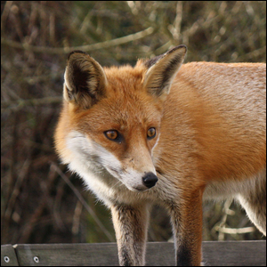A photo of a common red fox.