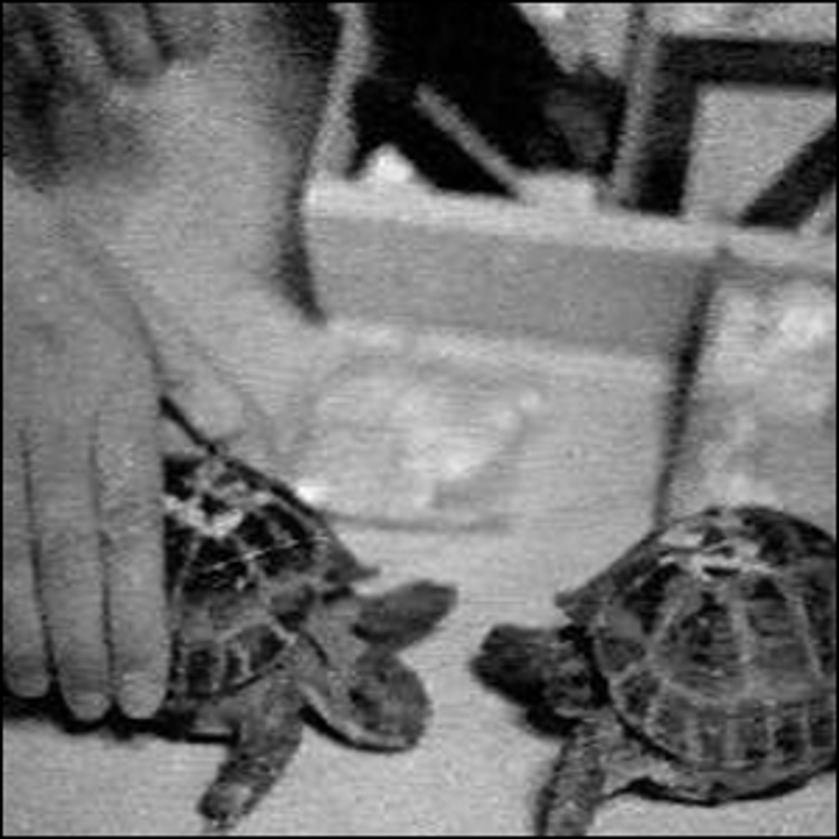The two Russian tortoises that were launched into lunar orbit.