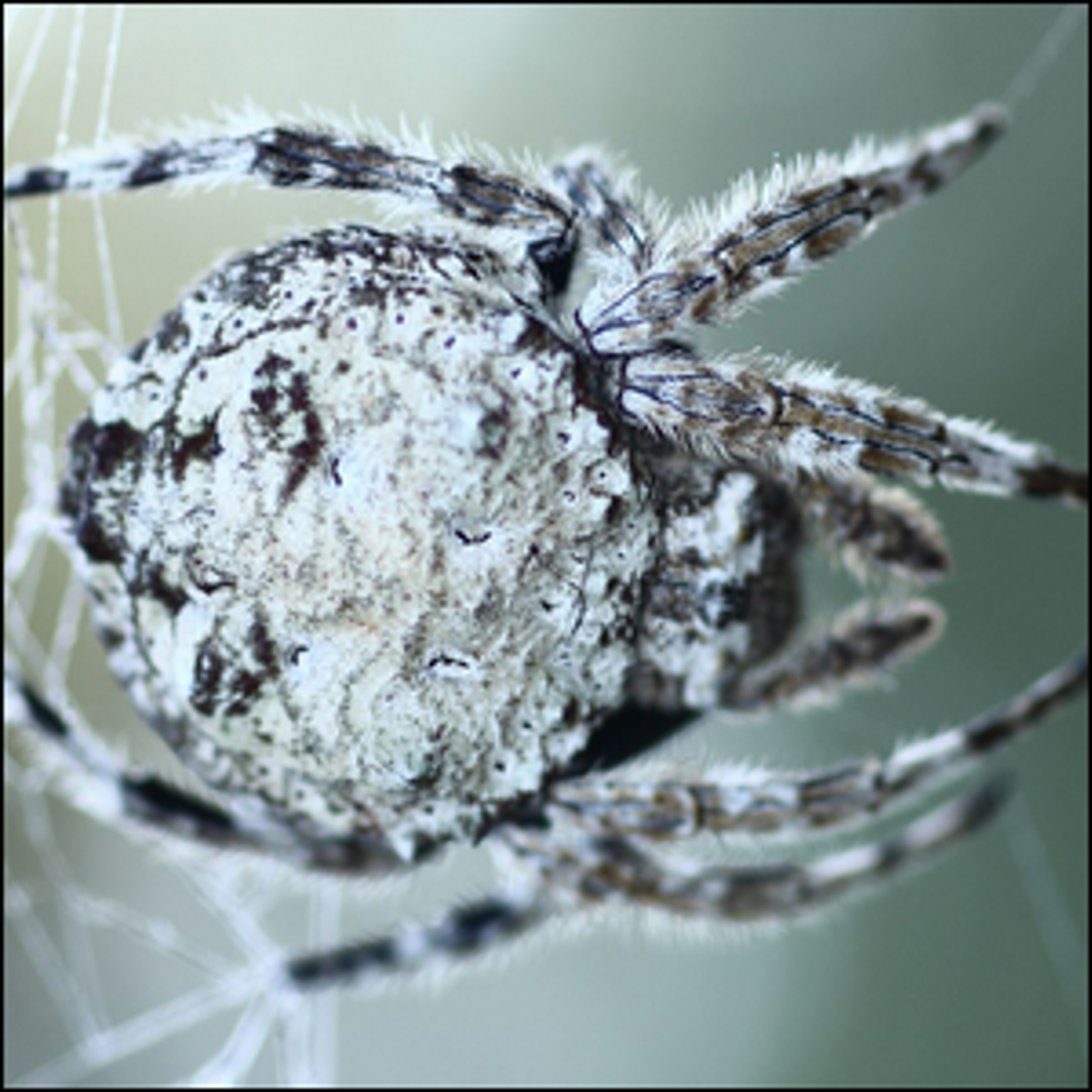 Darwin's bark spider, seen up close and on its web.