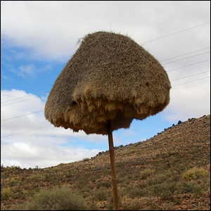 A large sociable weaver nest on an electricity pole in Northern Cape, South Africa.
