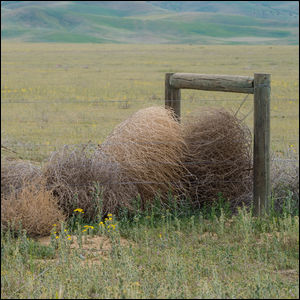 Tumbleweeds caught against in a fence in the American West.