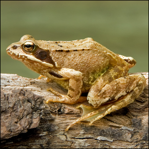 A European Common Brown Frog sitting on a tree branch.
