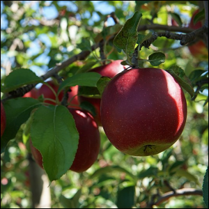 An apple tree with red apples ready to be picked.