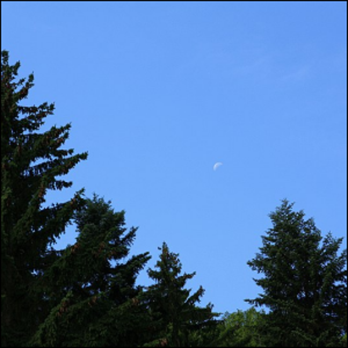 A photo of evergreen trees and a bright blue sky.