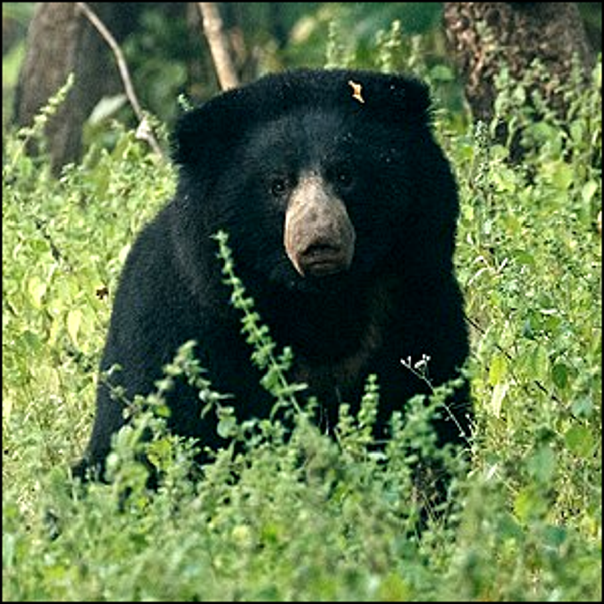 Photo of a bear sitting in a meadow.