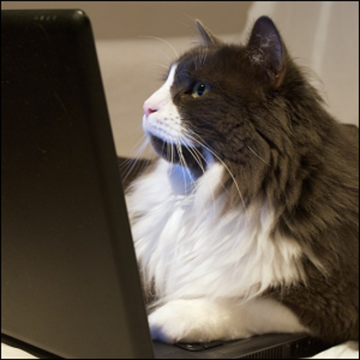 A gray and white cat laying on the keyboard while looking at the laptop screen.