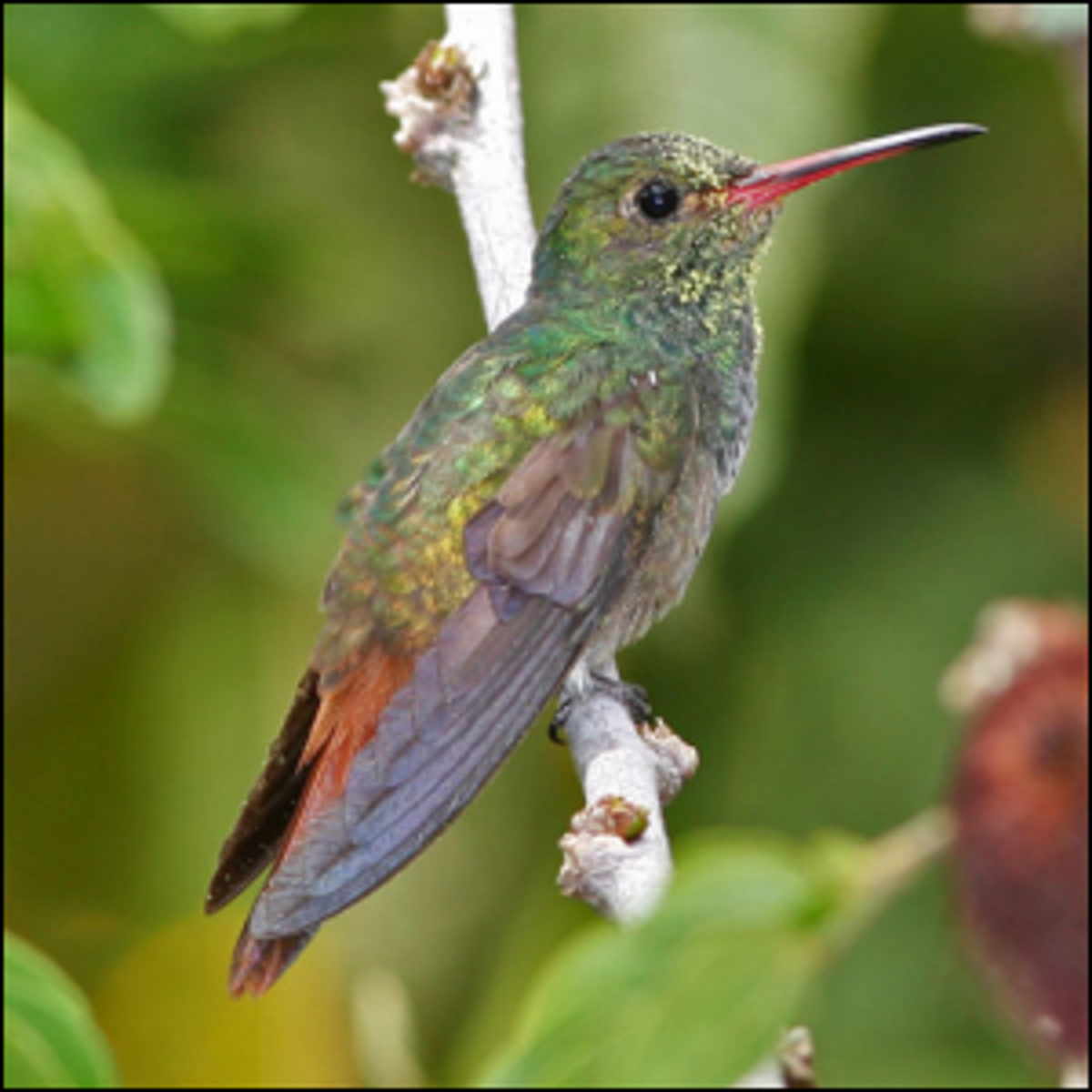 A Rufous-Tailed Hummingbird perched on a tree limb in Venezuela.