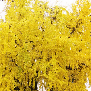 Photo of a Ginkgo Biloba tree showing its golden autumn colors.