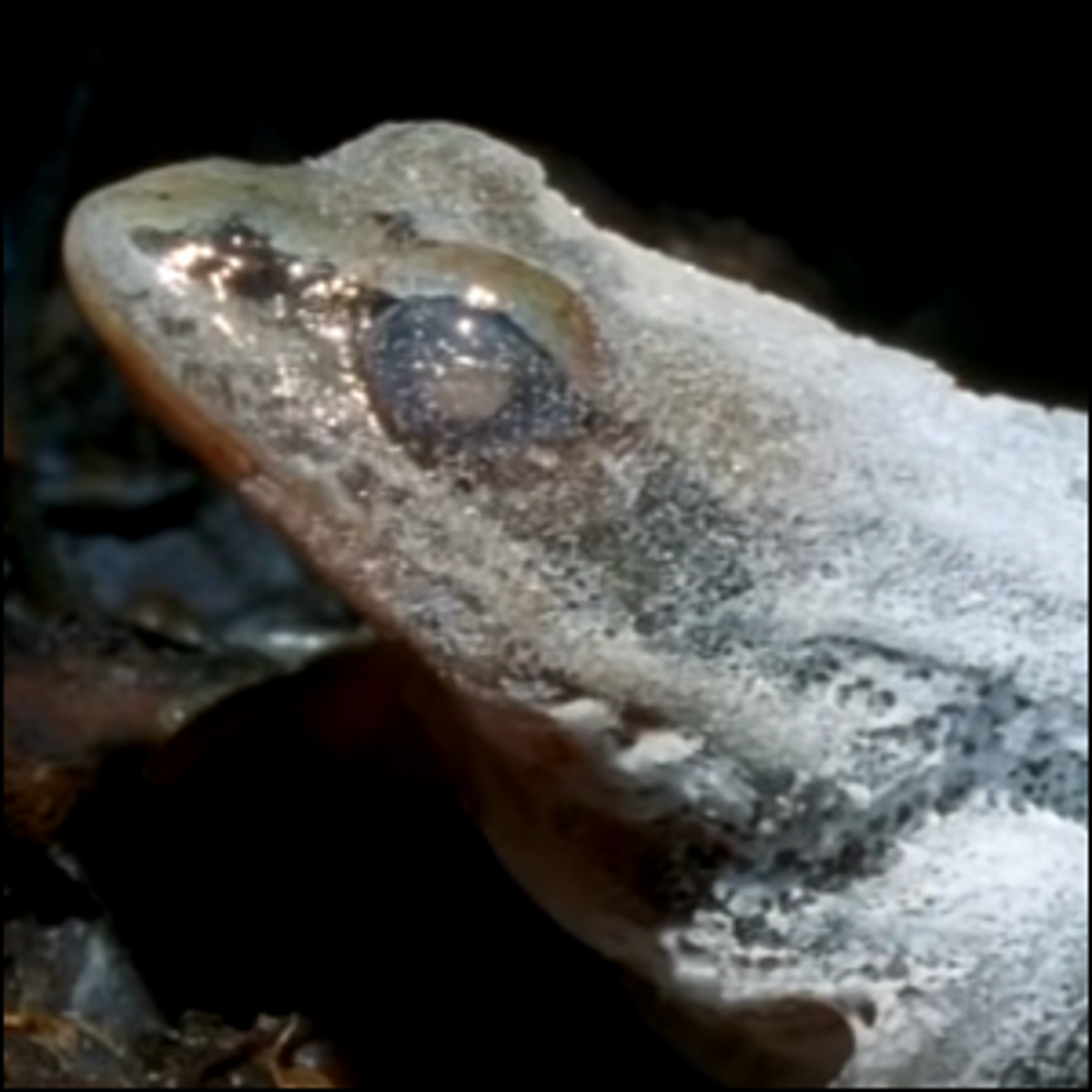 A wood frog that is beginning to thaw out.