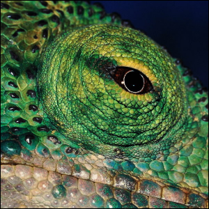 A close-up view photo of a chameleon's eye in Madagascar.
