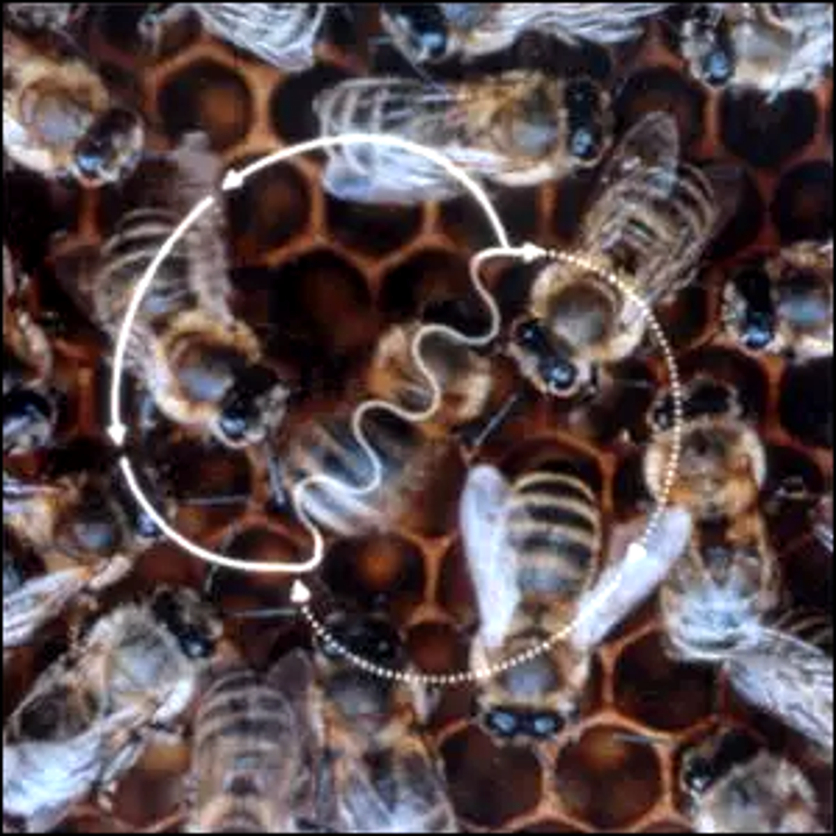 The figure-eight-shaped waggle dance of the honey bee.