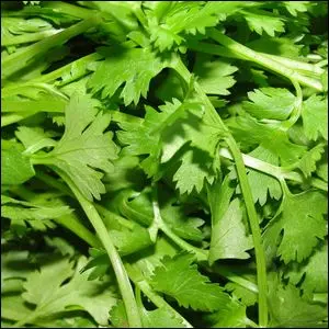 A batch of fresh cilantro leaves.