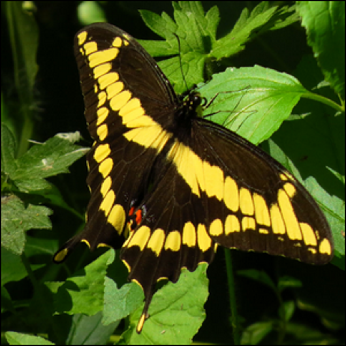 Photo of a Giant Swallowtail Butterfly taken at Shirleys Bay, Ottawa, Ontario, Canada.