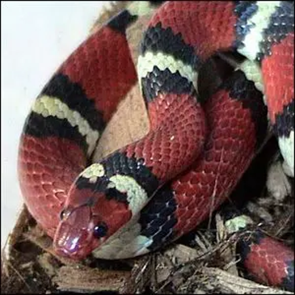 A Kingsnake coiled up and resting.