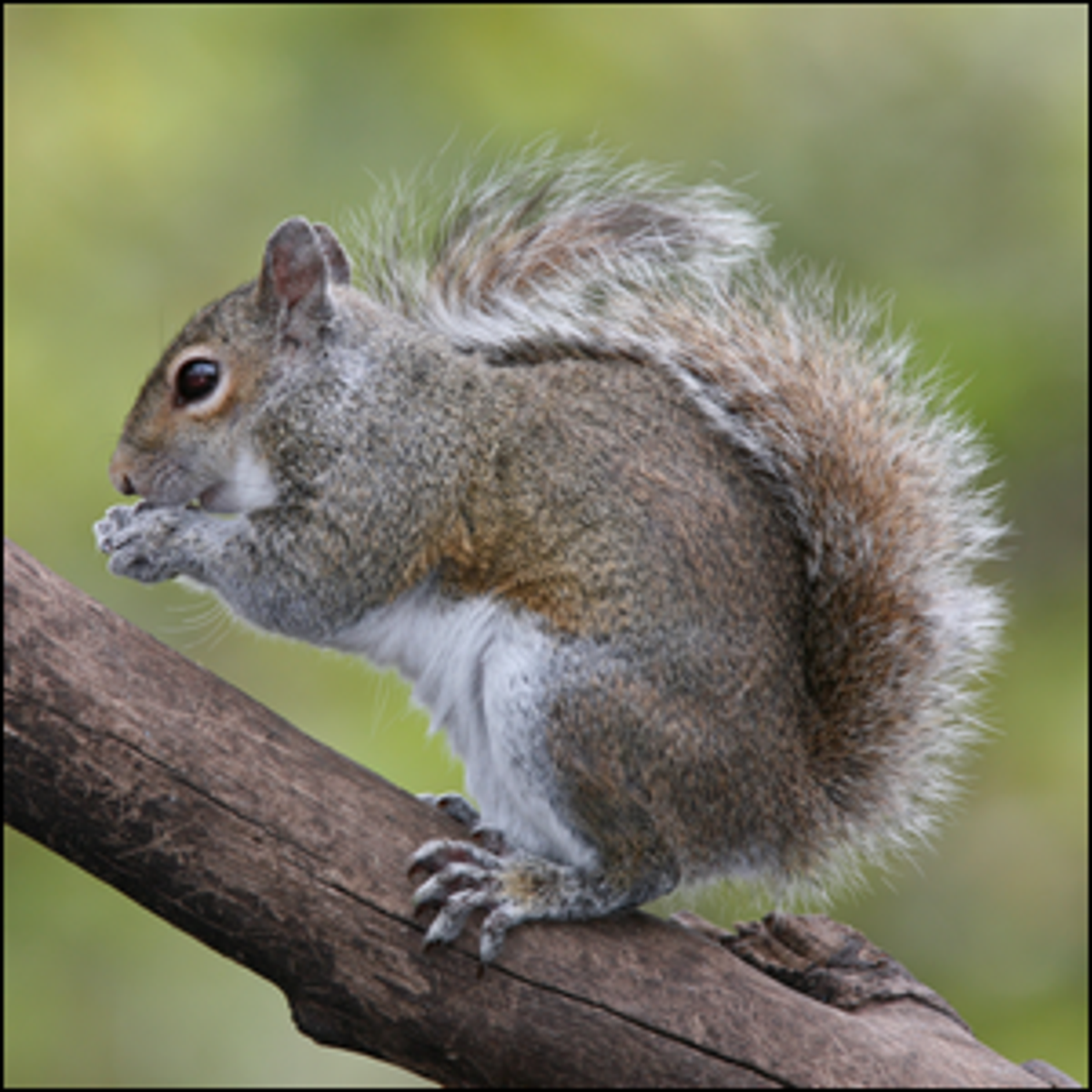 A photo of an Eastern Grey Squirrel eating taken in Florida.