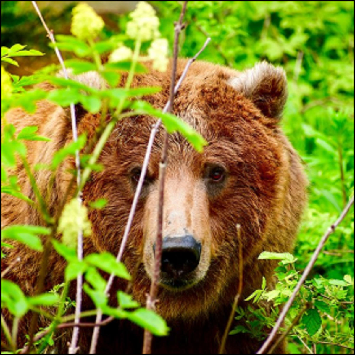A grizzly bear hiding behind some greenery in Juneau, Alaska.