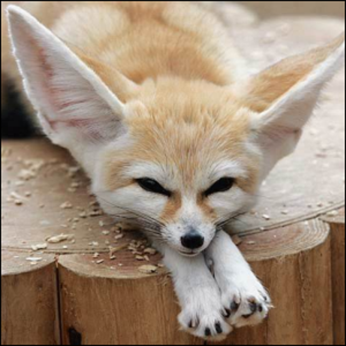 A fennec fox enjoying a calm afternoon.