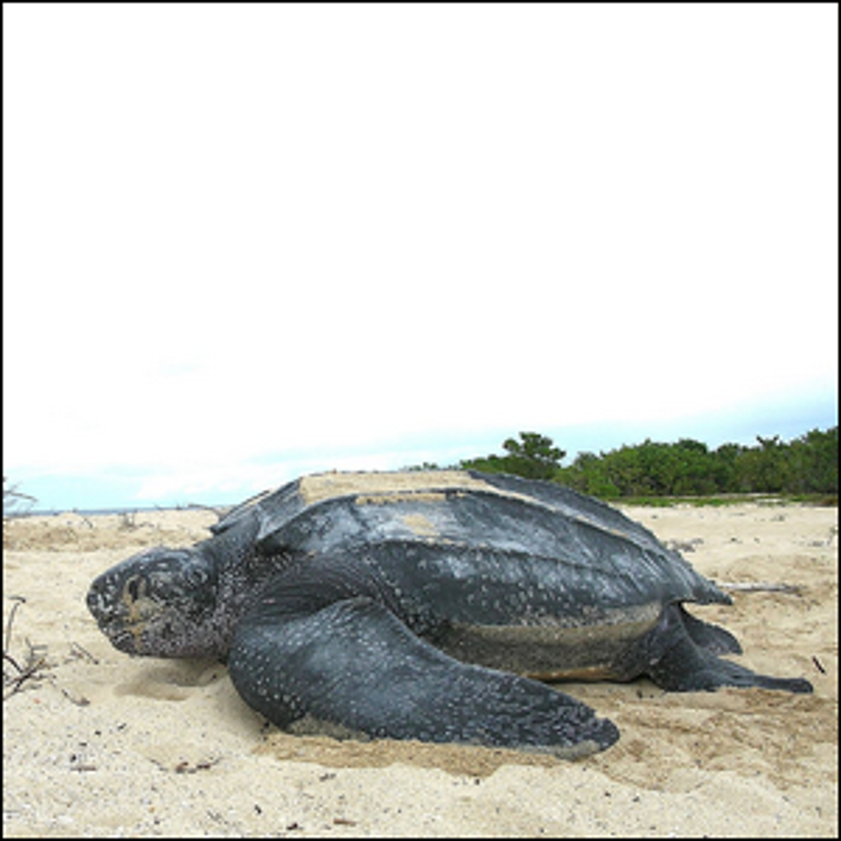 Photo of a Leatherback Sea Turtle located at the Sandy Point National Wildlife Refuge, U.S. Virgin Islands.