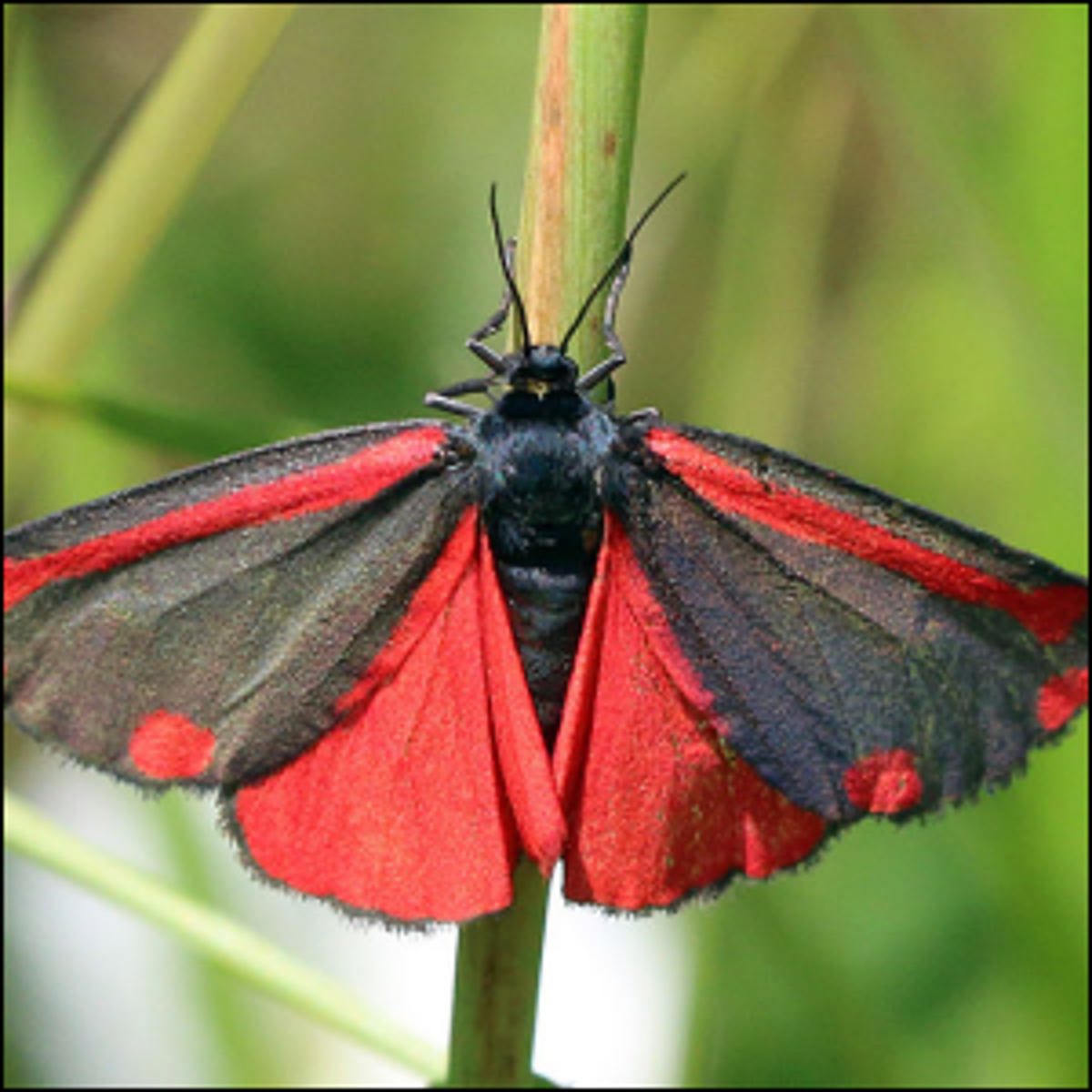 A Cinnabar Moth with its wings spread out.
