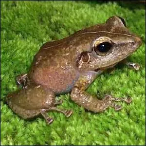 Photo of a Common Coqui Frog from Puerto Rico.