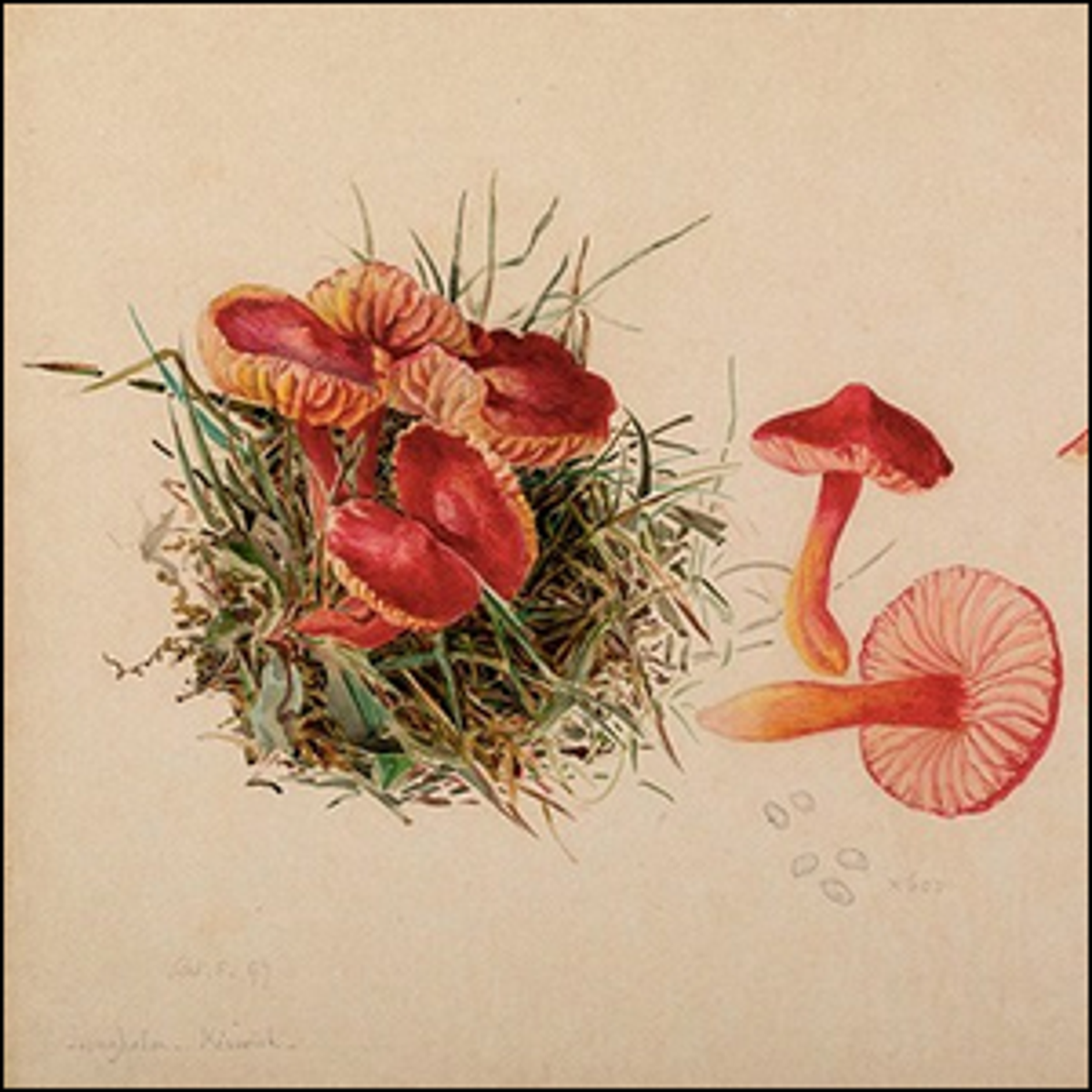A mycological illustration of the reproductive system of a fungus.