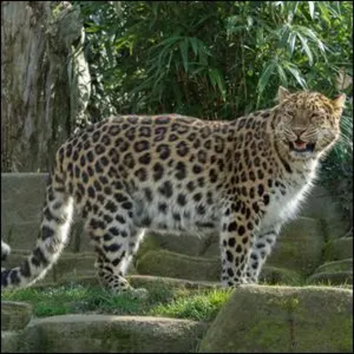 A captive Amur leopard at the Colchester Zoo in England.