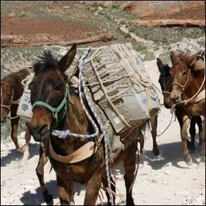 A team of mules from Supai, Arizona carrying U.S. Mail containers.
