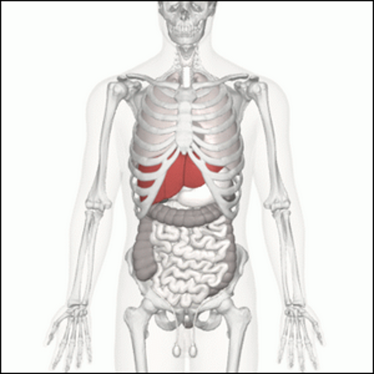 A view of the location of the human liver (in red).
