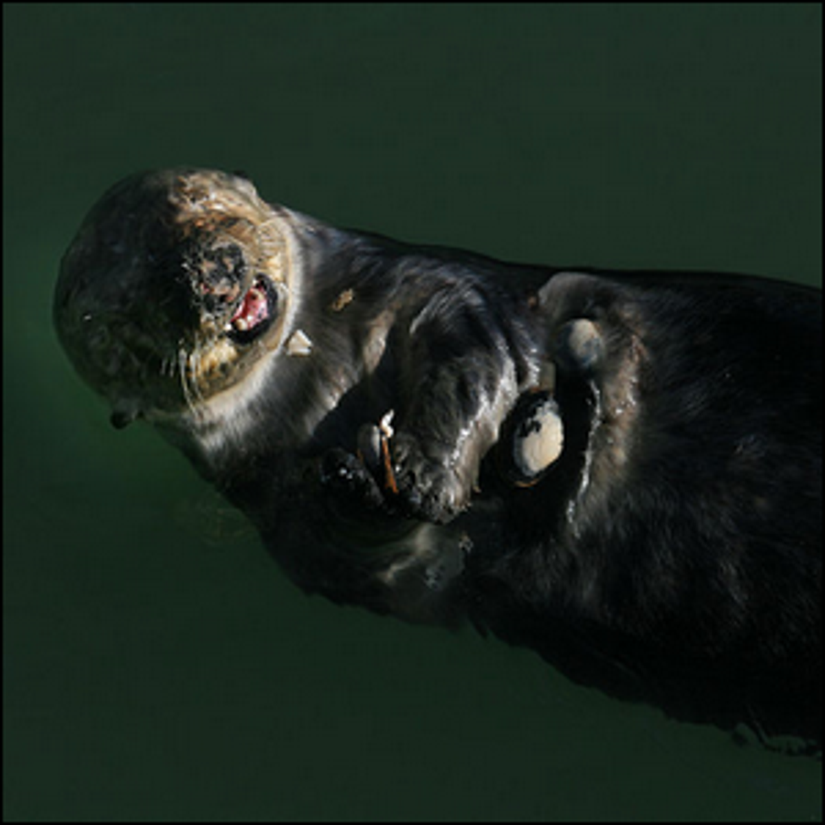 Sea otters floating and eating clams that were cracked open by a stone