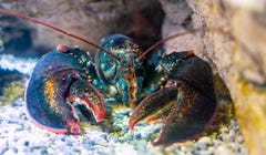 Are Lobsters Really Immortal?