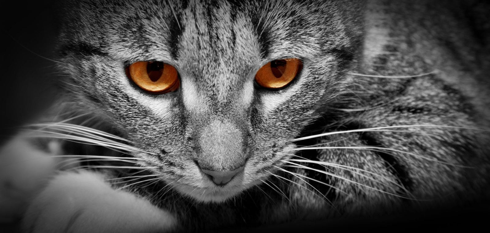 closeup of gray and black striped cat with orange eyes