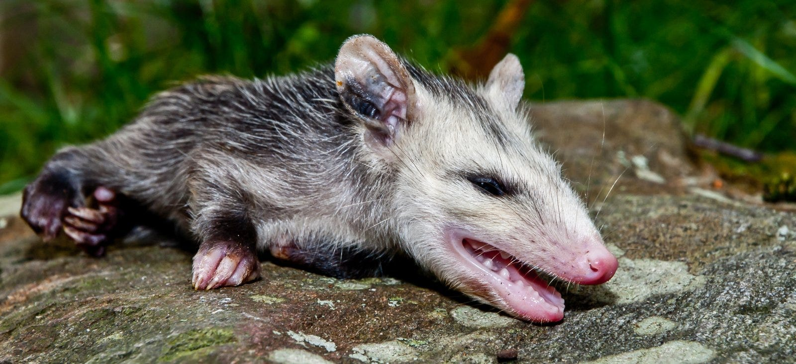A young Opossum playing dead in the garden