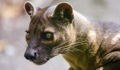 8 Fun Facts About the Fossa
