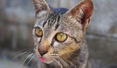 """Why Do Cats """"Blep?"""""""