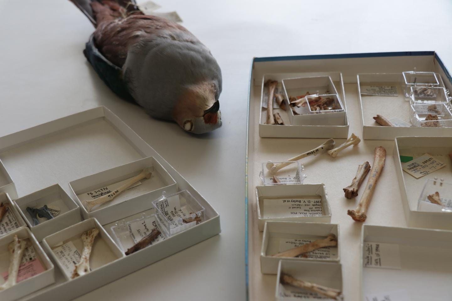 Dead pigeon and bones in boxes