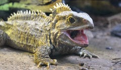 Intriguing Finds About the Lizard that Isn't