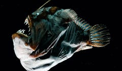 Male Anglerfish Ditched Immune System for Sex