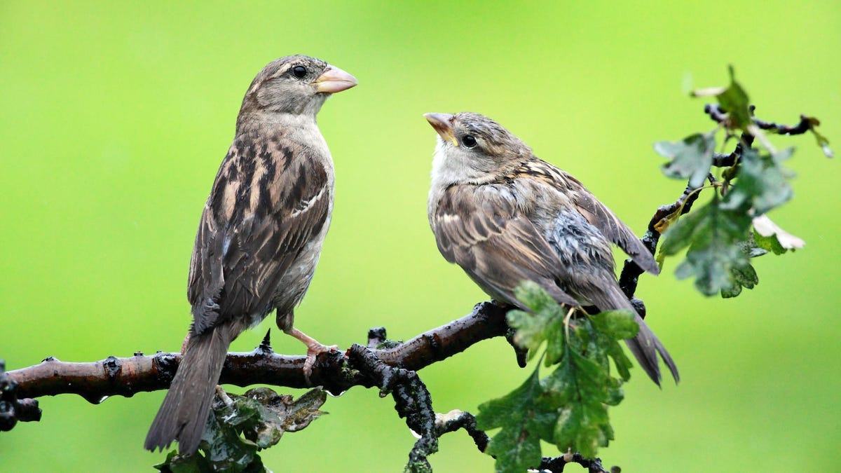 Juvenile Sparrow and adult perched on a branch