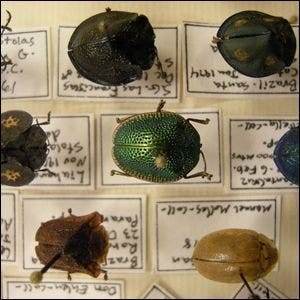 Tortoise Beetles in a collection, pinned to a display board.