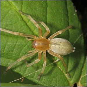 Photo of a Yellow Sac Spider.
