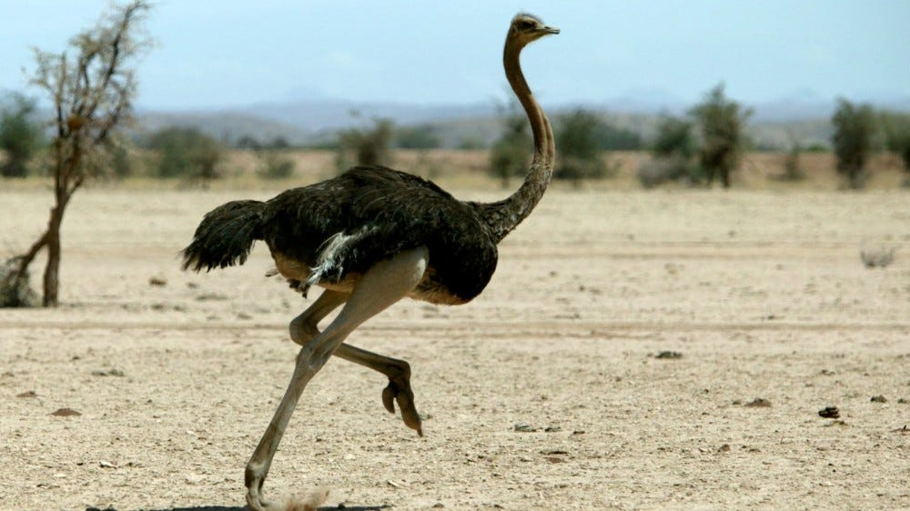 Ostrich running in desert