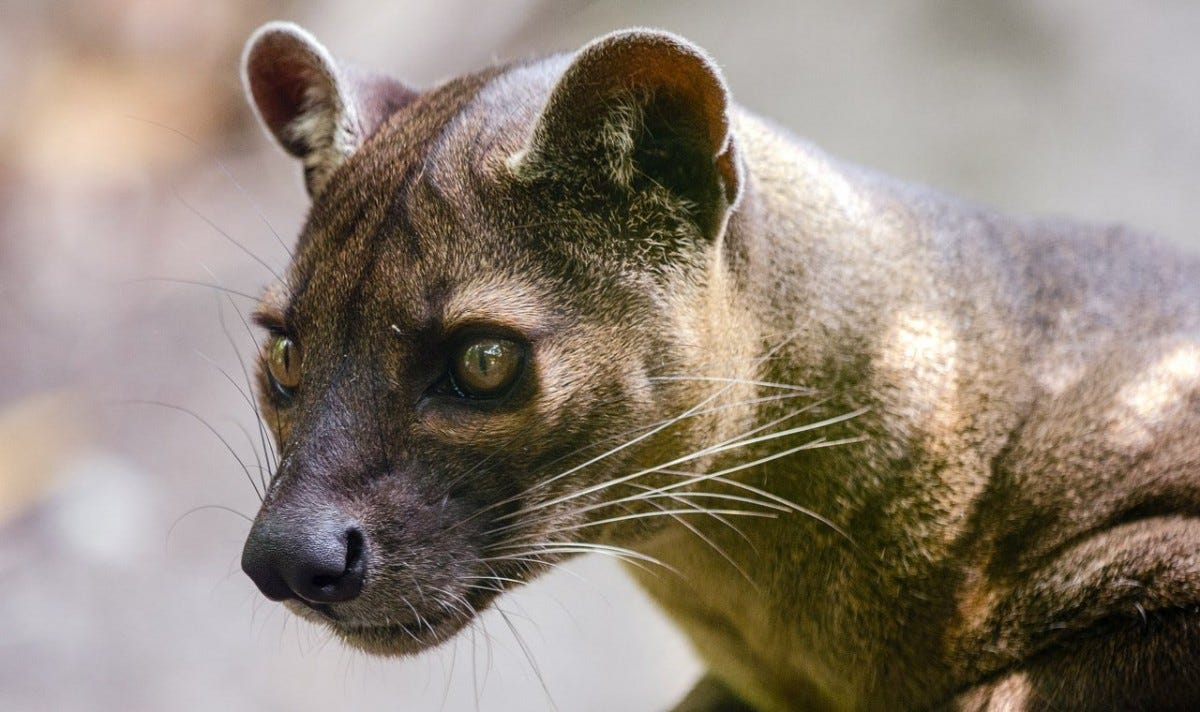 Closeup of a Fossa