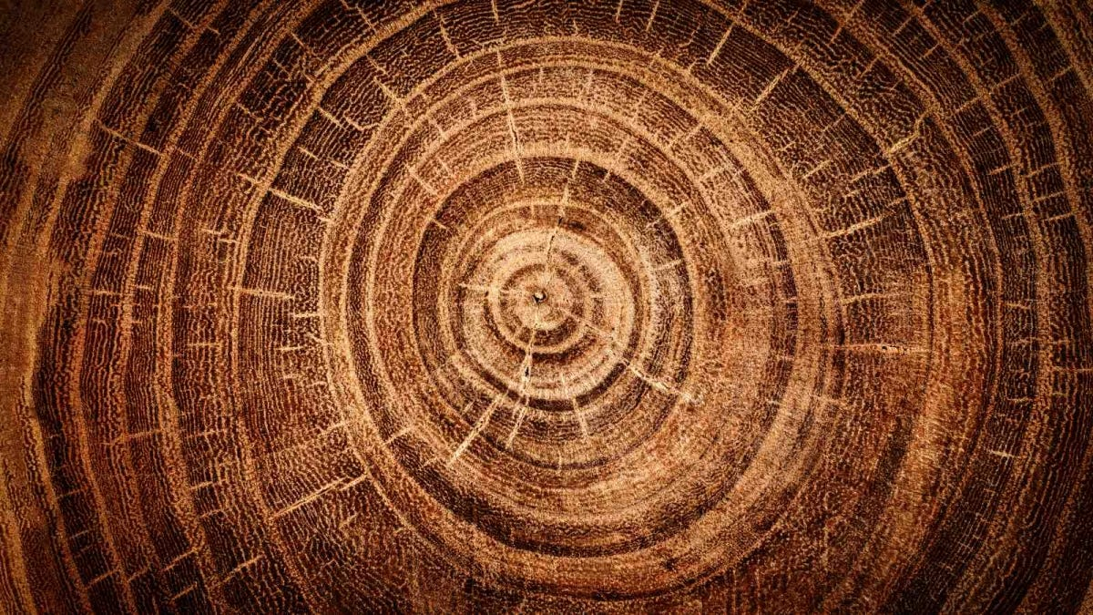 top view of rings on oak tree stump