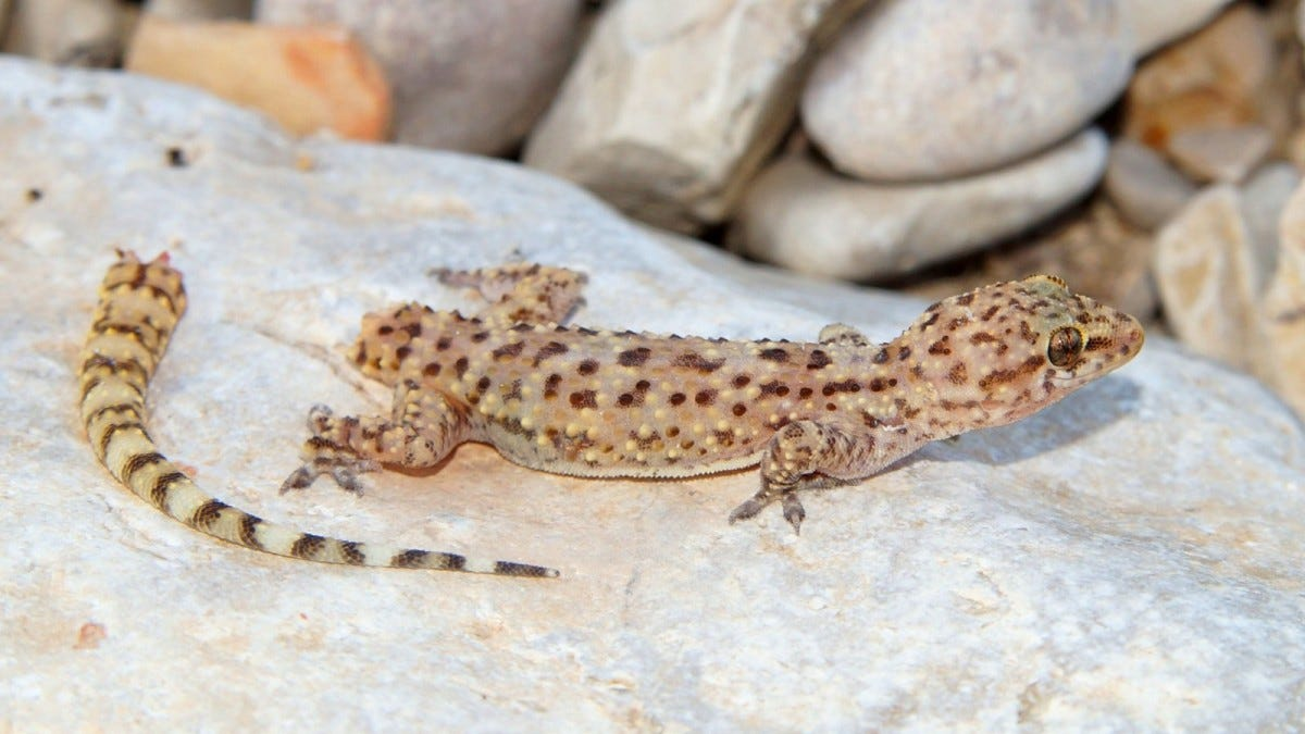 Mediterranean Gecko shortly after dropping its tail to avoid a predator