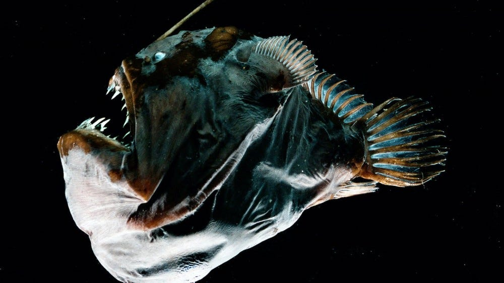Close up of female anglerfish