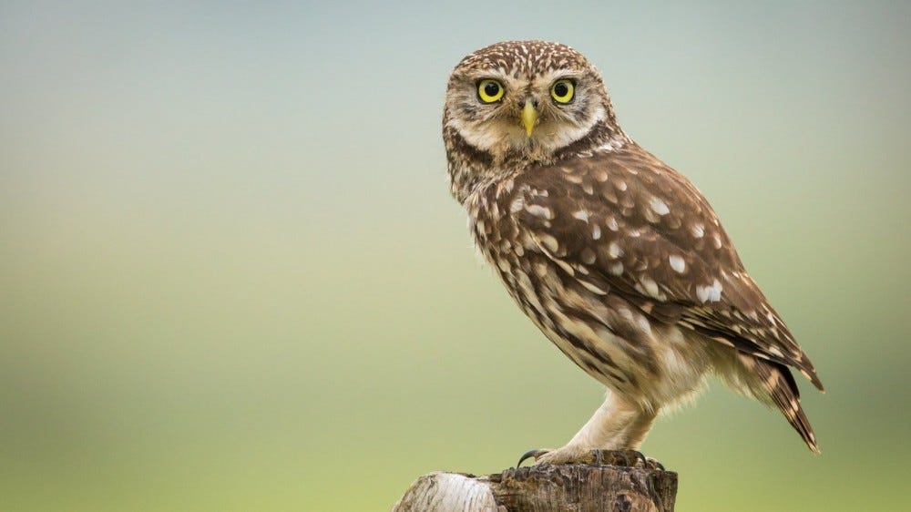Little Owl standing on stump