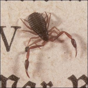 A close up photo of a tiny book scorpion, hardly bigger than the letters on the page.