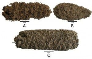 Ancient corn cobs unearthed in northern Peru