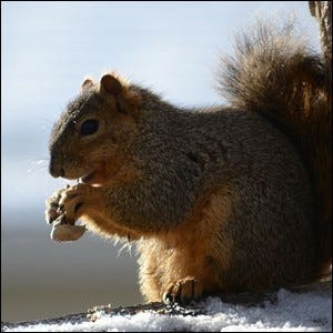 An Eastern Gray Squirrel eating a peanut during the winter.